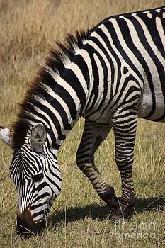 Darcy Michaelchuk - Zebra in Ngorongoro Crater