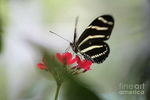 Zebra Longwing Aflutter by Theresa Willingham