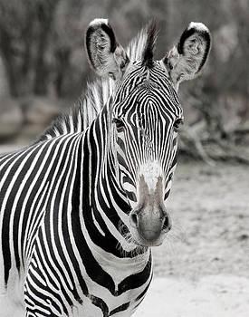 Michael Peychich - Zebra