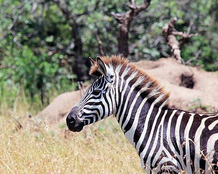 Zebra On Alert by Diane Geddes