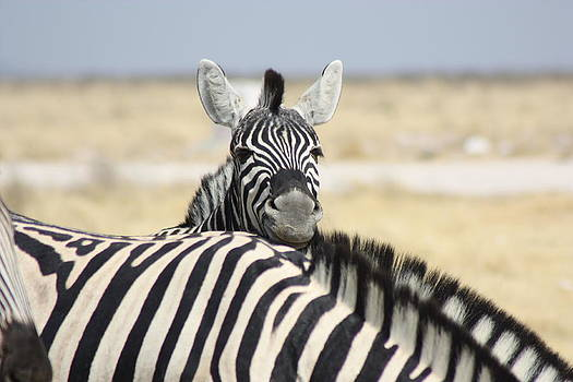 Zebra Peek-a-Boo by Barbara Allm