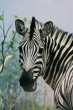 Zebra Pose by Barbara Allm