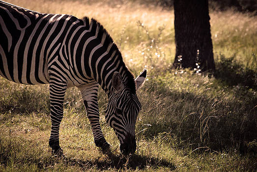 Zebra Take One by Kelly Rader