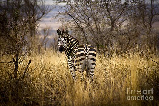 Darcy Michaelchuk - Zebra Watching his Back