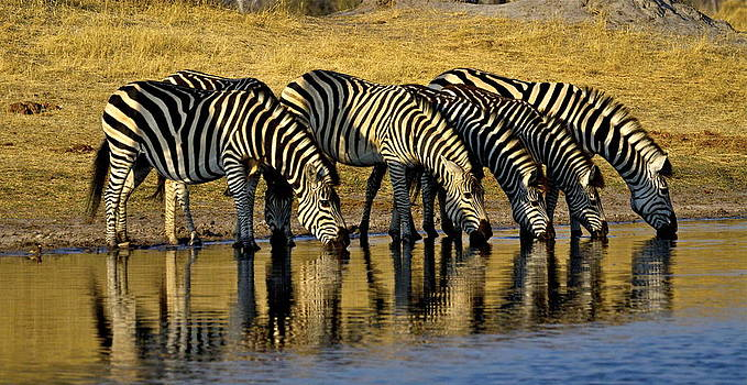 Zebras at waterhole by Bruce Colin