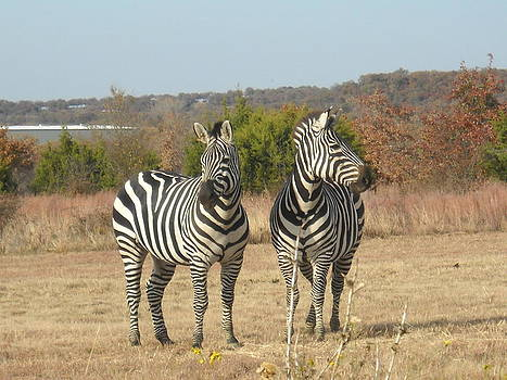 Zebras by Sharon Martin
