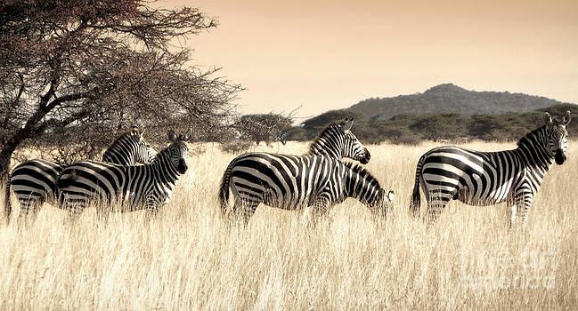 Zebras by Tina Broccoli