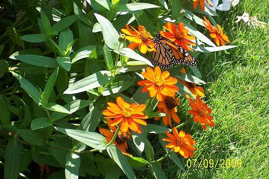 Zinnias with Butterfly by Patsy Adkins
