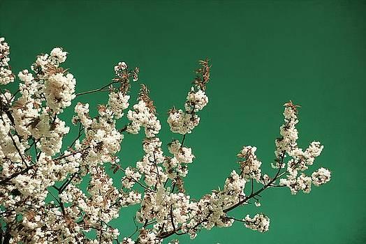 White cherry blossoms by Sonya Kanelstrand