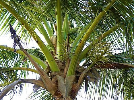 Coconut tree by Anna Baker