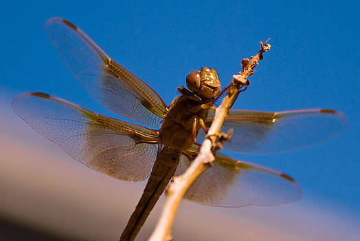 Dragonfly Close-Up by Zee Helmick