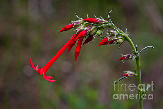Fairy Trumpets by Barbara Schultheis