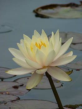 Lotus pond by Sophic