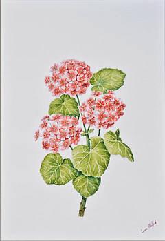 Pelargonium by Louis Mifsud