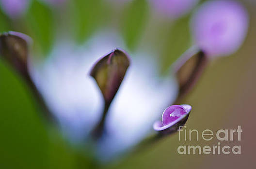 Purple pearl... by Christine Kapler