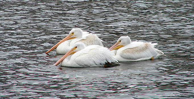 White Pelicans by Phyllis Britton