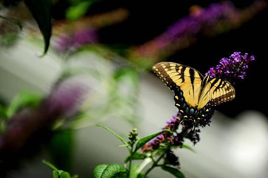 Butterfly by Frank DiGiovanni