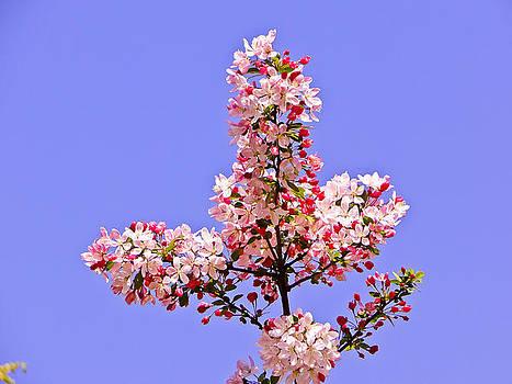 Cherry Blossom by Sandeep Pandey