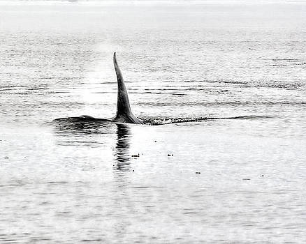 A Killer Whale Approaches by Darryl Luscombe