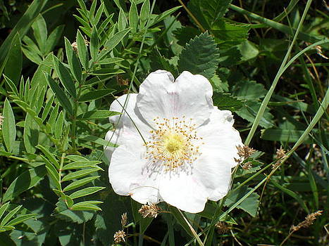 Alberta Wild Prickly White Rose by Mark Lehar
