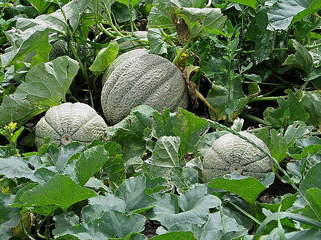 Almost Ripe Melons by Victoria Sheldon