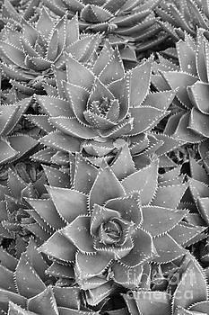 Aloe Brevifolia by Lori Bristow