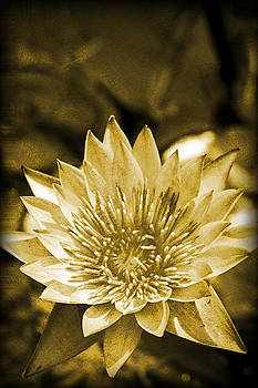 Antique Water Lily by Rob Tullis