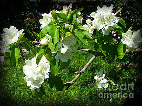 Apple Blossoms -1 by Ashley Vipond