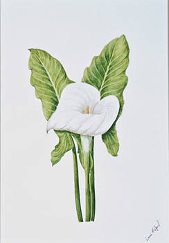 Arum Lily. 112 by Louis Mifsud