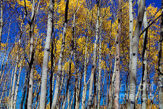 Aspen Grove by Barbara Schultheis