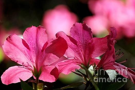 Azalea Blossoms by Theresa Willingham