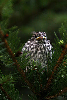 Baby Bird by Susan Shaffer