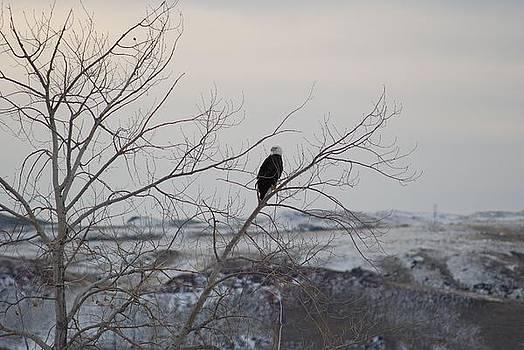 Bald Eagle in the Tree by Wanda Jesfield