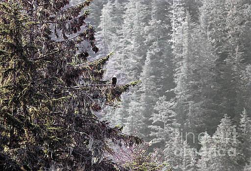 Bald Eagle in tree by John Rowe