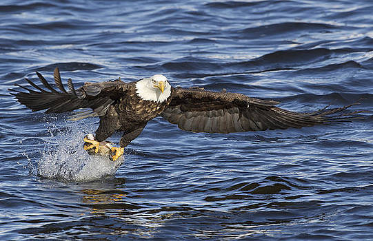 Bald Eagle with fish by Ruhikanta Meetei