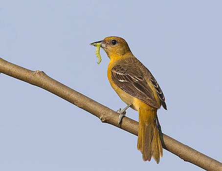 Baltimore Oriole by Ruhikanta Meetei