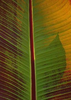Banana Plant Leaf by Lyle Hatch