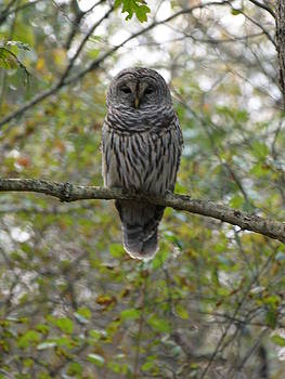 Barred Owl by William Hudson