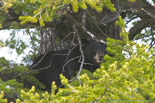 Bear in a Tree by Charles Warren