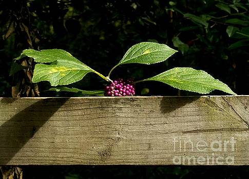 Beauty Berry on a Fence by Theresa Willingham