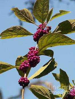 Beauty Berry by Theresa Willingham