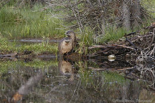 Beaver Pair by Charles Warren