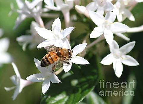 Bee and White Pentas by Theresa Willingham