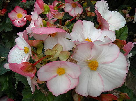 Begonias - White Pink Flowers by Liliana Ducoure