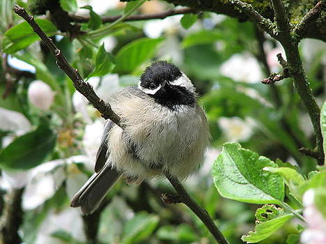 Black Capped Chickadee by Keith Rohmann
