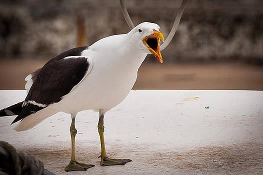 Black Crowed Albatross by Cliff C Morris Jr