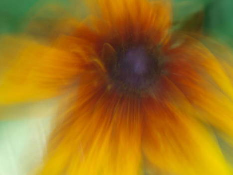 Black Eyed Susan by Cindy Carr