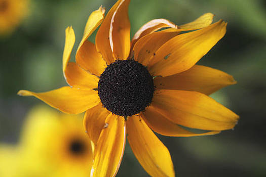 Black Eyed Susan by Laura Tucker
