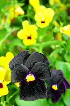 Black Pansies by Monty Wesley
