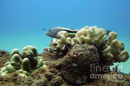 Black side Hawkfish by Suzette Kallen